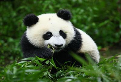 神树坪大熊猫基地门票团购