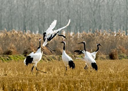盐城丹顶鹤自然保护区