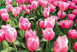 南川荷兰花卉乐园