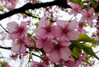 蓝调樱花园